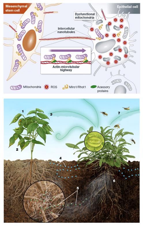 Coronary microvascular and endothelial function regulation